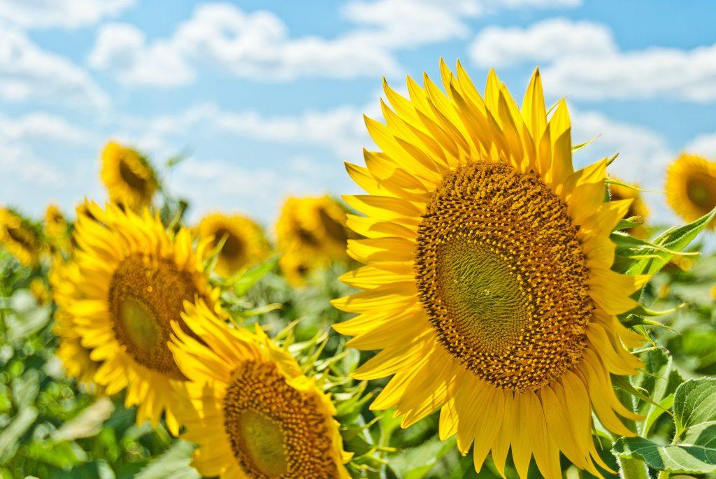 Sunflowers in summer sun